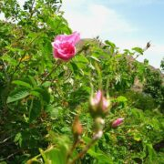 Damask Rose Gardens in Ghamsar