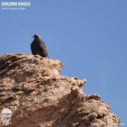 Golden Eagle in Kavir National Park