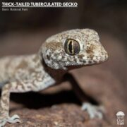 Thick-tailed Tuberculated Gecko