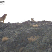 Asiatic Cheetah in Khar Turan National Park