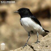 Black Wheatear at Kavir National Park