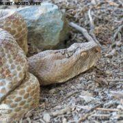 Blunt-nosed Viper