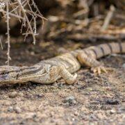 Desert Monitor in Khar Turan National Park