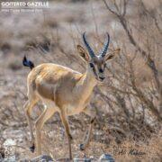 Goitered Gazelle in Khar Turan National Park
