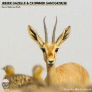 Jebeer Gazelle