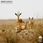 Jebeer Gazelle in Khar Turan National Park