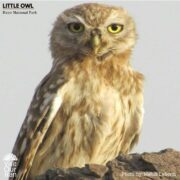 Little Owl at Kavir National Park