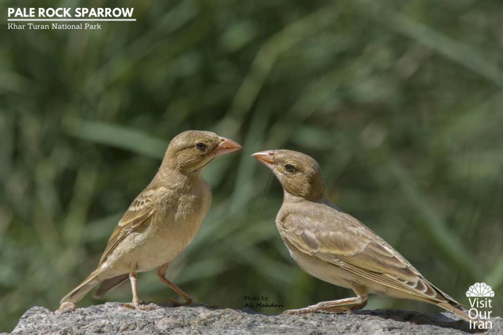 Pale Rock Sparrow