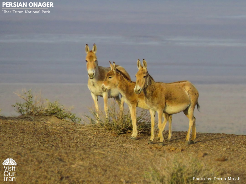 Persian Onager in Turan National Park