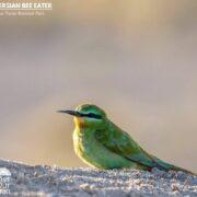 Persian Bee Eater