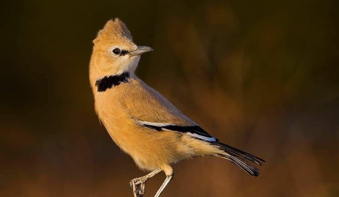 Persian Ground Jay