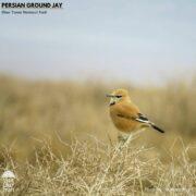 Pleske's Ground Jay in Khar Turan National Park