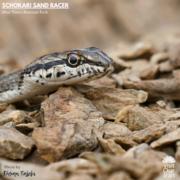 Schokari Sand Racer