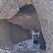 Striped Hyena in Khar Turan National Park