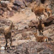 Wild Goats at Khar Turan National Park