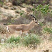 Goitered Gazelle