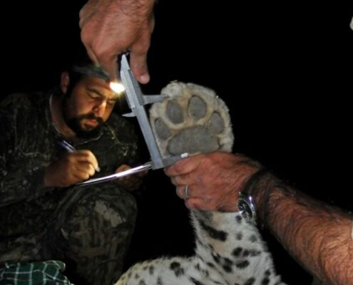 Researches on Persian Leopards in Tandoureh National Park