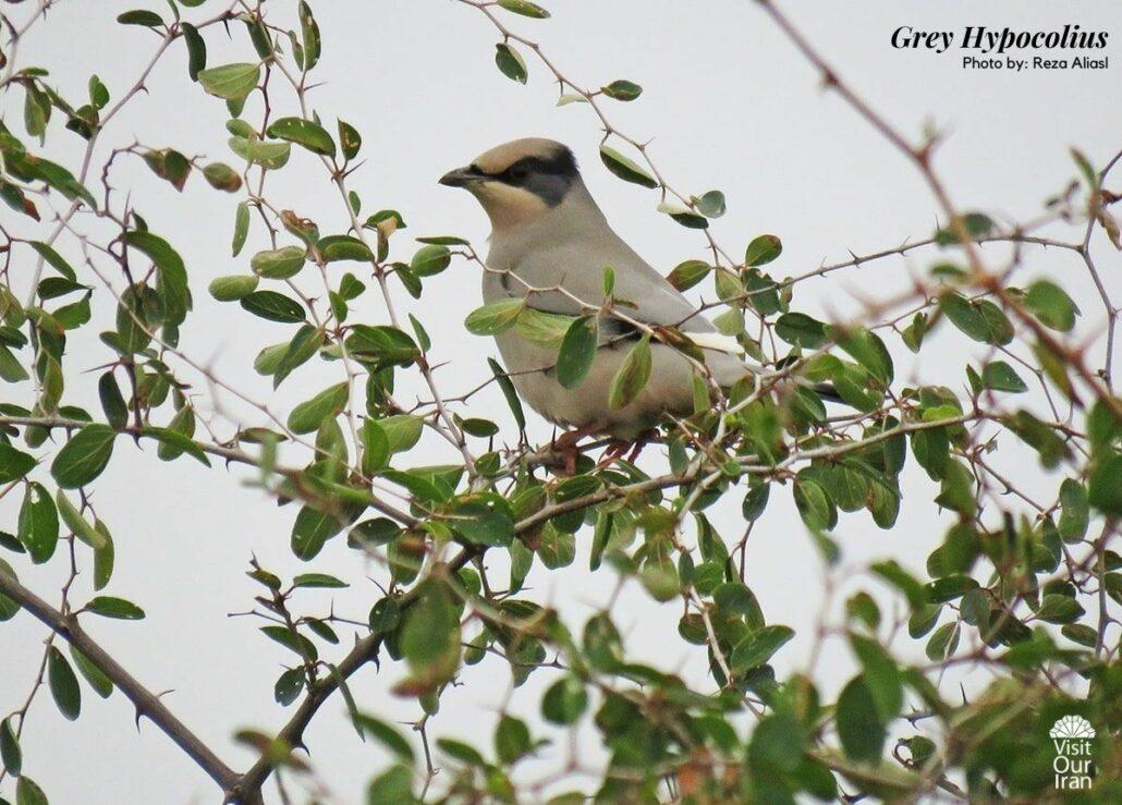 Grey Hypocolius in Iran