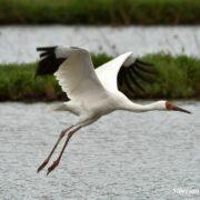Omid the last Siberian White Crane