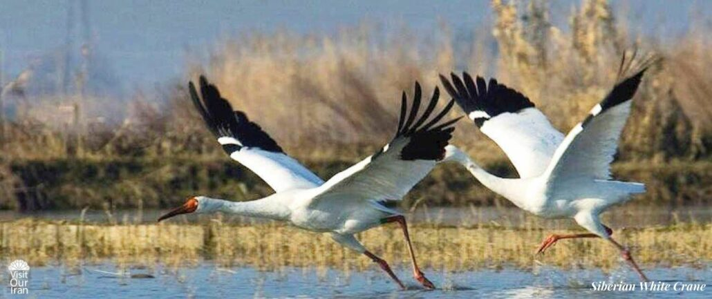 Omid and Arezoo the last Siberian White Cranes