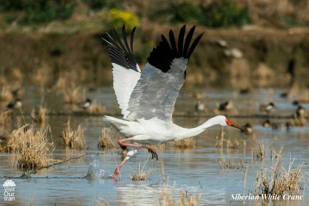 Last western Siberian White Crane in Iran