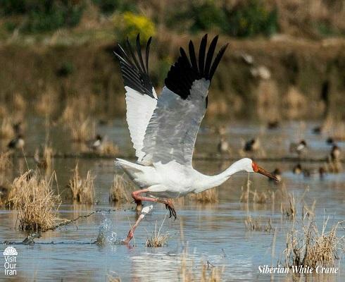 Omid, The Last Western Siberian White Crane
